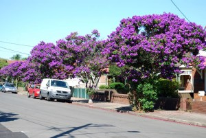 purple trees in australia