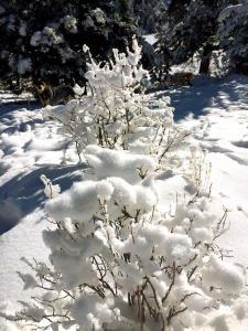 snow covered bushes