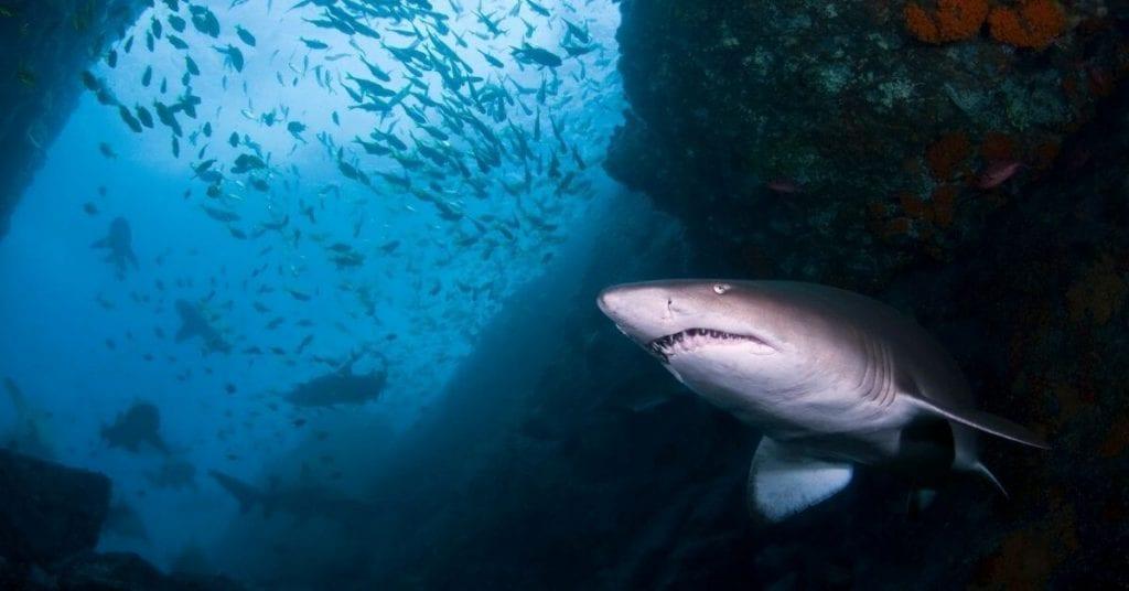 Batemans Bay grey nurse sharks