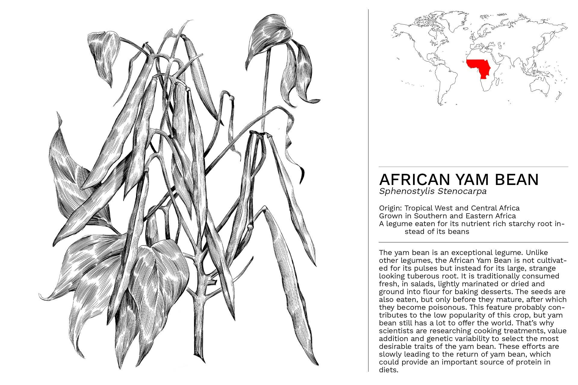AFRICAN_YAM_BEAN_Slideshow