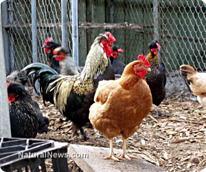 Chickens-Near-Cage
