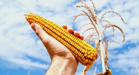corn-466