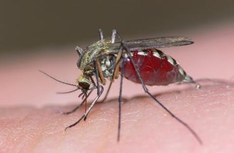 mosquito-460