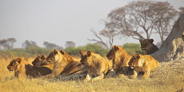 Lion Pride small