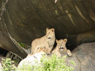 Lions cooling off in a kopje