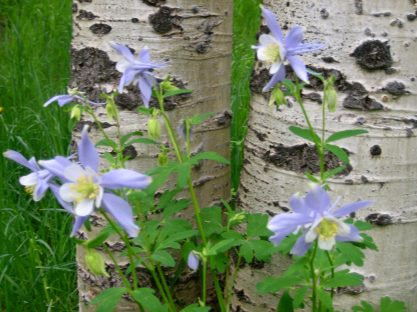 Columbine - the CO state flower