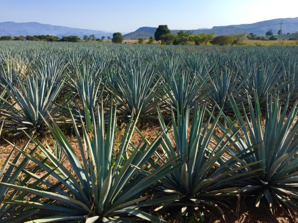 Miles and miles of tequila in the making.