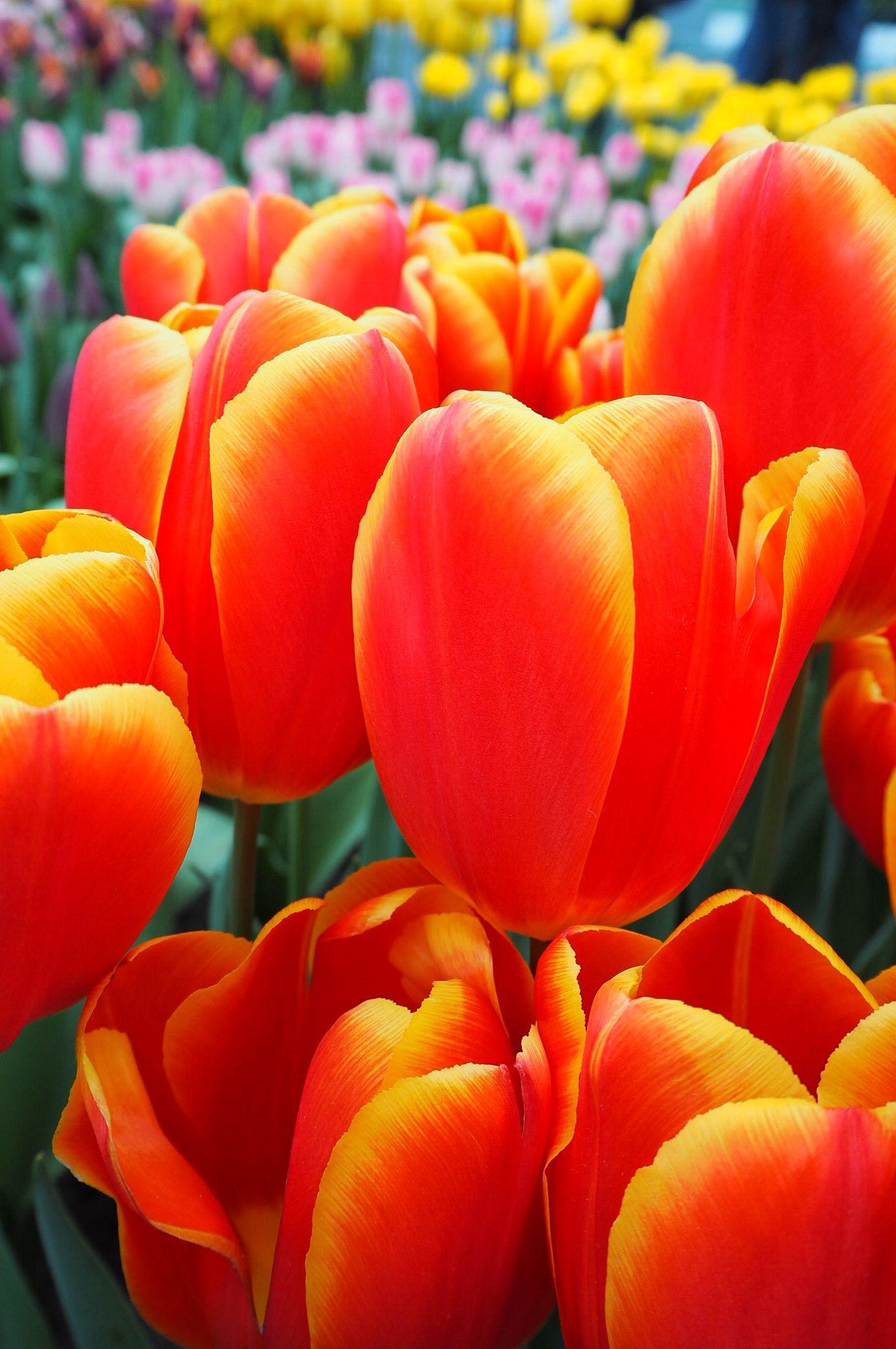Netherlands Tulip Tours - Best time to Visit Keukenhof Tulip Gardens in Holland