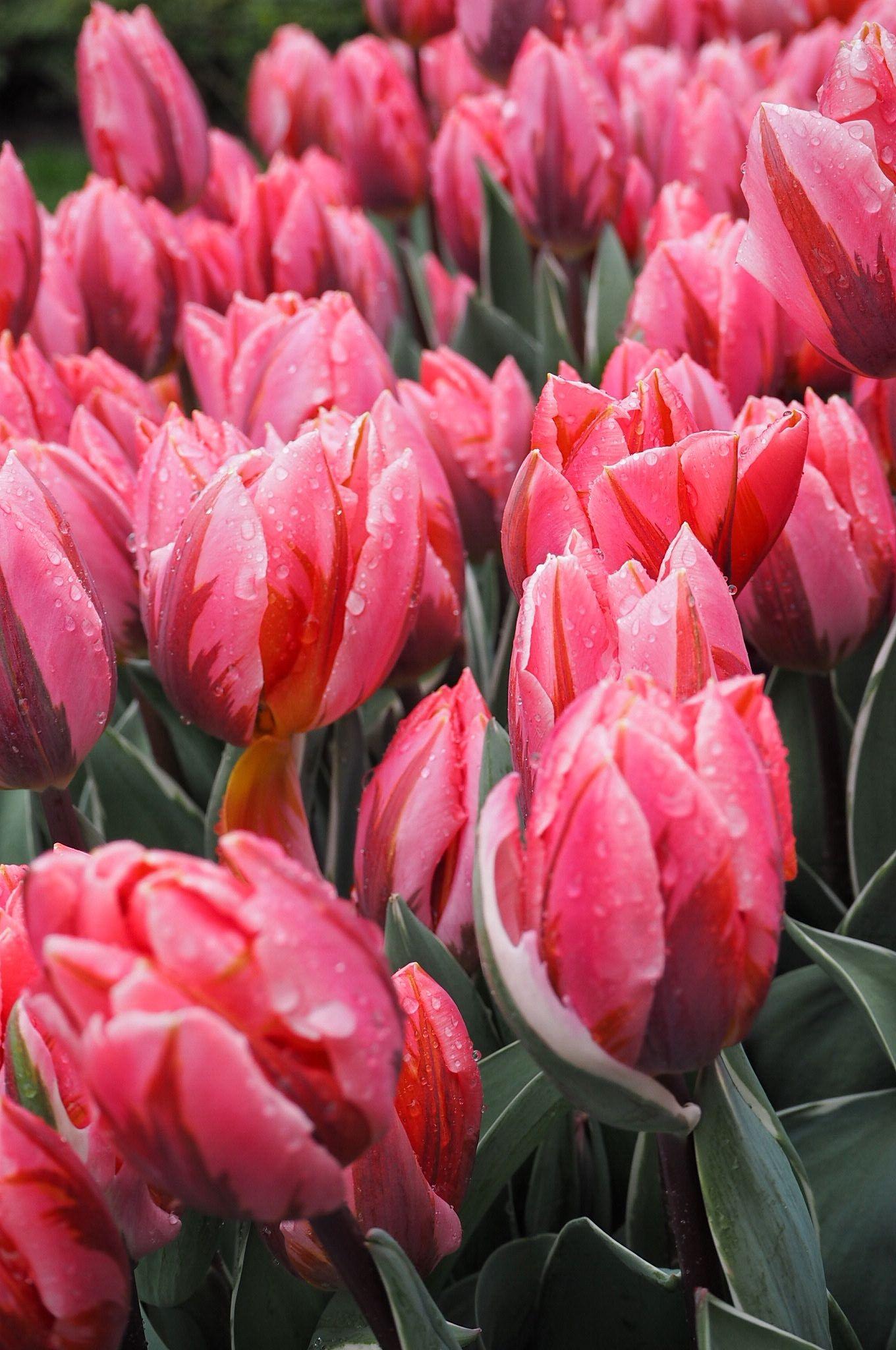 Fuchsia Pink Rain Soaked Tulips Keukenhof