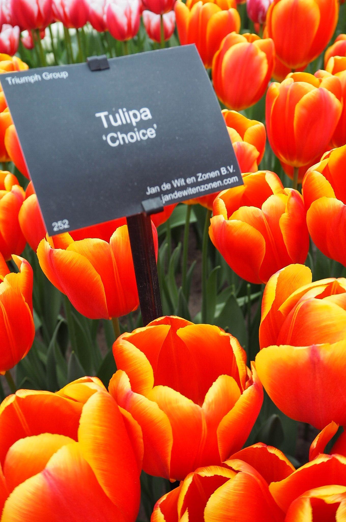 My favourite Tulipa Choice