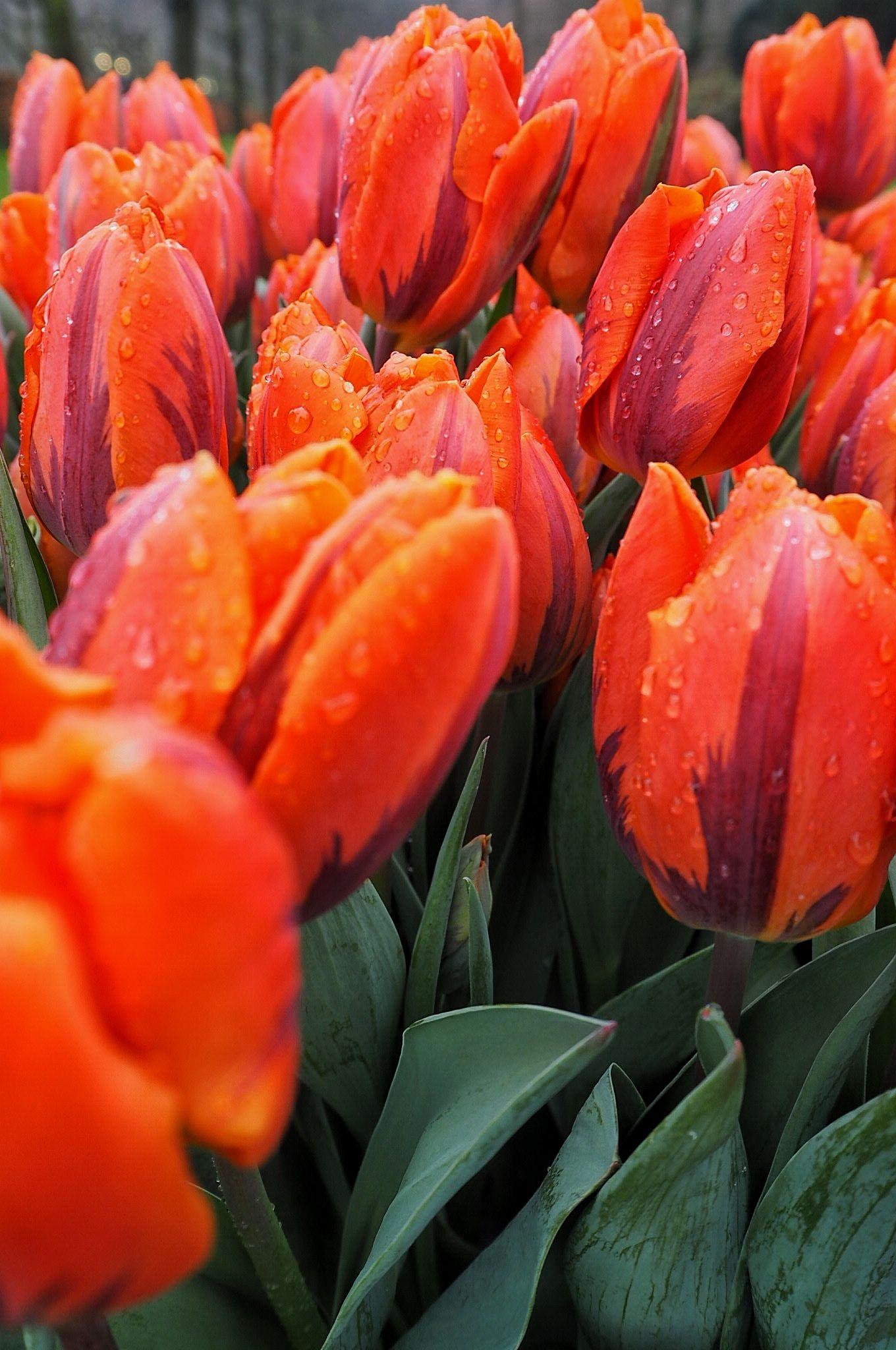 Orange and purple Tulips Keukenhof
