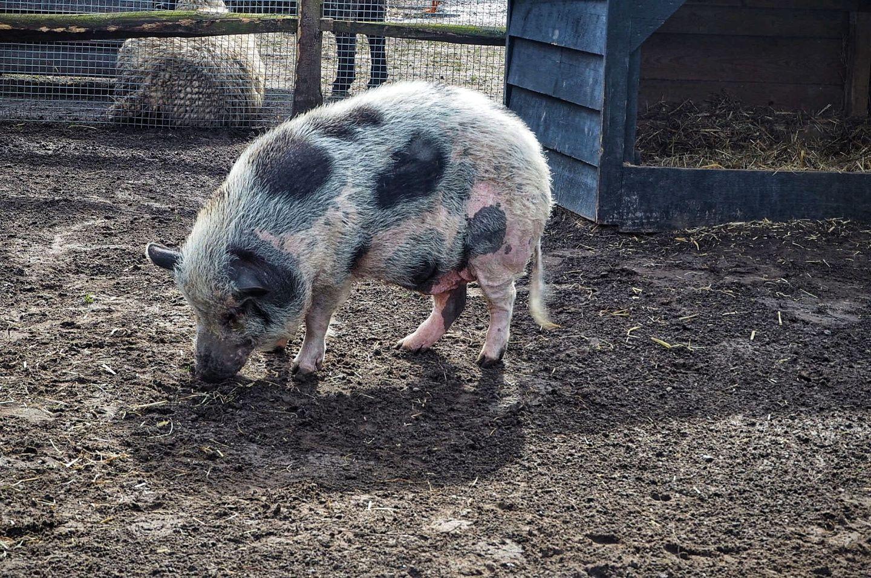 Piggy Farm Animals Keukenhof