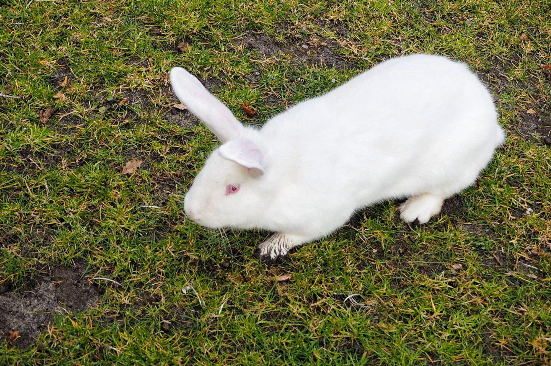 Pluisje white bunny rabbit Keukenhof Tulip Gardens