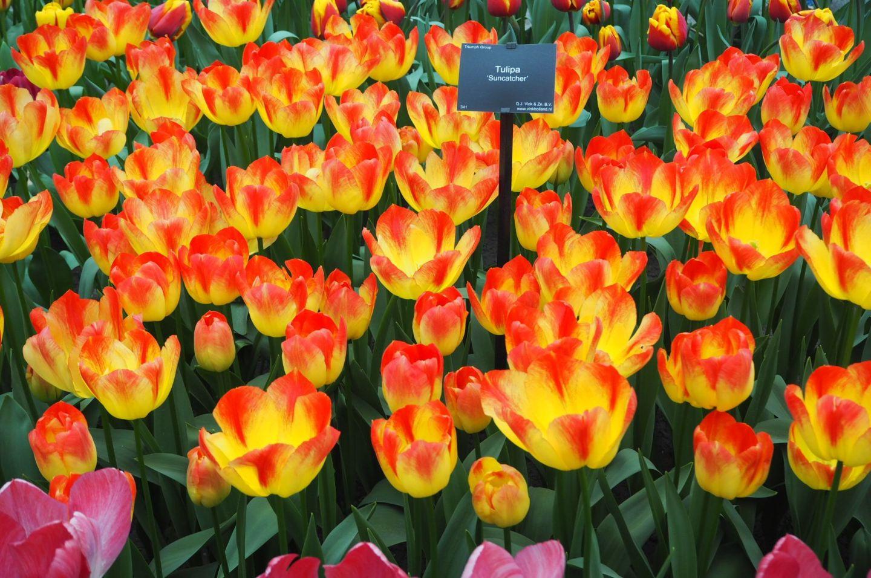 Suncatcher Tulips Keukenhof Tulip Gardens