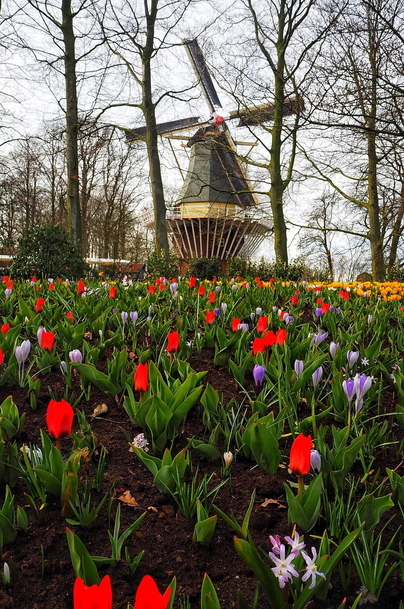 Symbols of The Netherlands Windmill and tulips