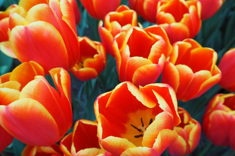 Vibrant Choice Tulips Keukenhof Tulip Gardens