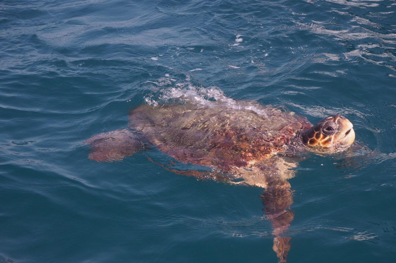 Loggerhead turtle coming up for air in Laganas bay Zante Zakynthos Greek Island.JPG
