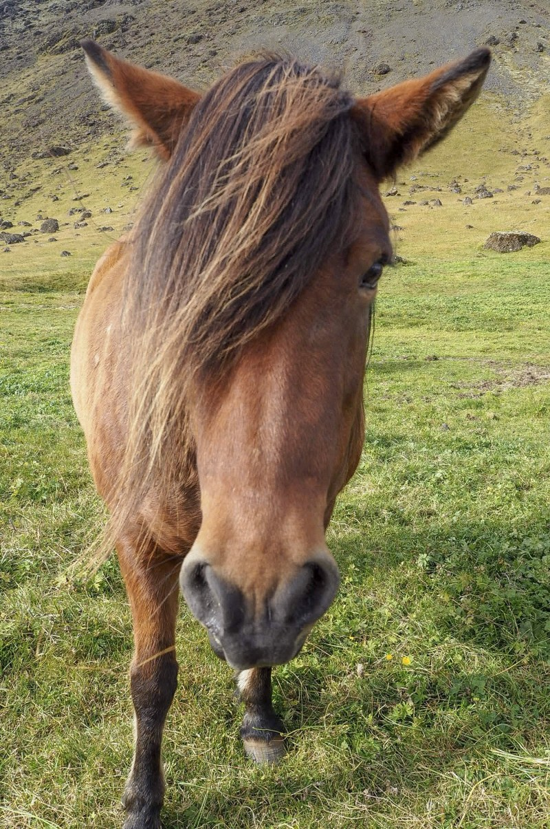 LaFonda with the lush locks Icelandic Horse