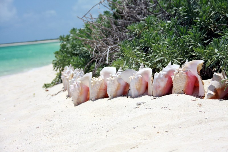 Conch-shells-in-the-bahamas