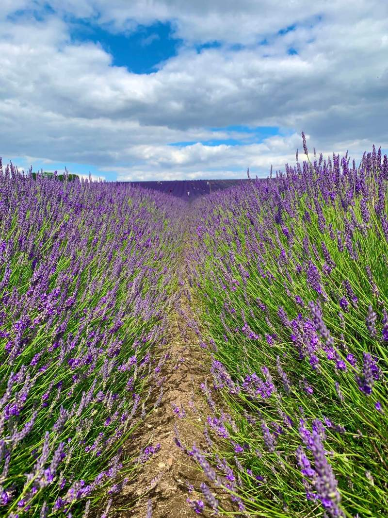 fields_of_lavender_in_bloom_hitchin_lavender