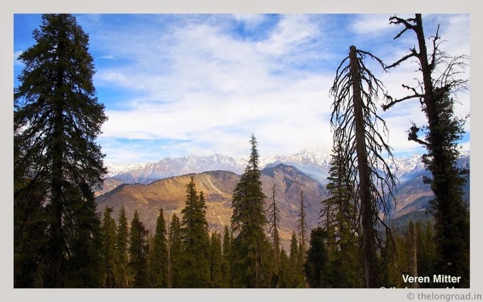 A view of dense Pine trees in Himalaya. kedarkantha trek