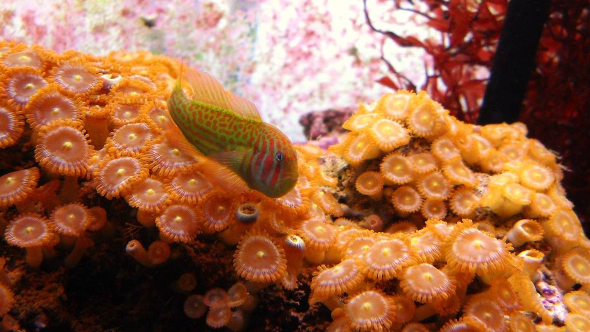 Are your Zoanthids safe?
