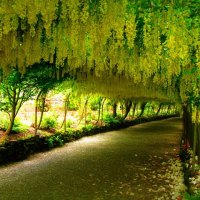 Amaltas, The Golden Shower Tree