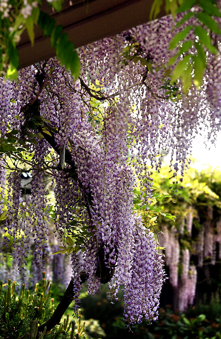 Wisteria Falls Wallpaper Colorful And Fragrant Climber For Warm Climate Wisteria