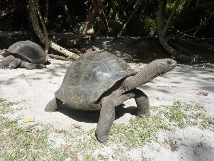 Seychelles - Giant tortoise