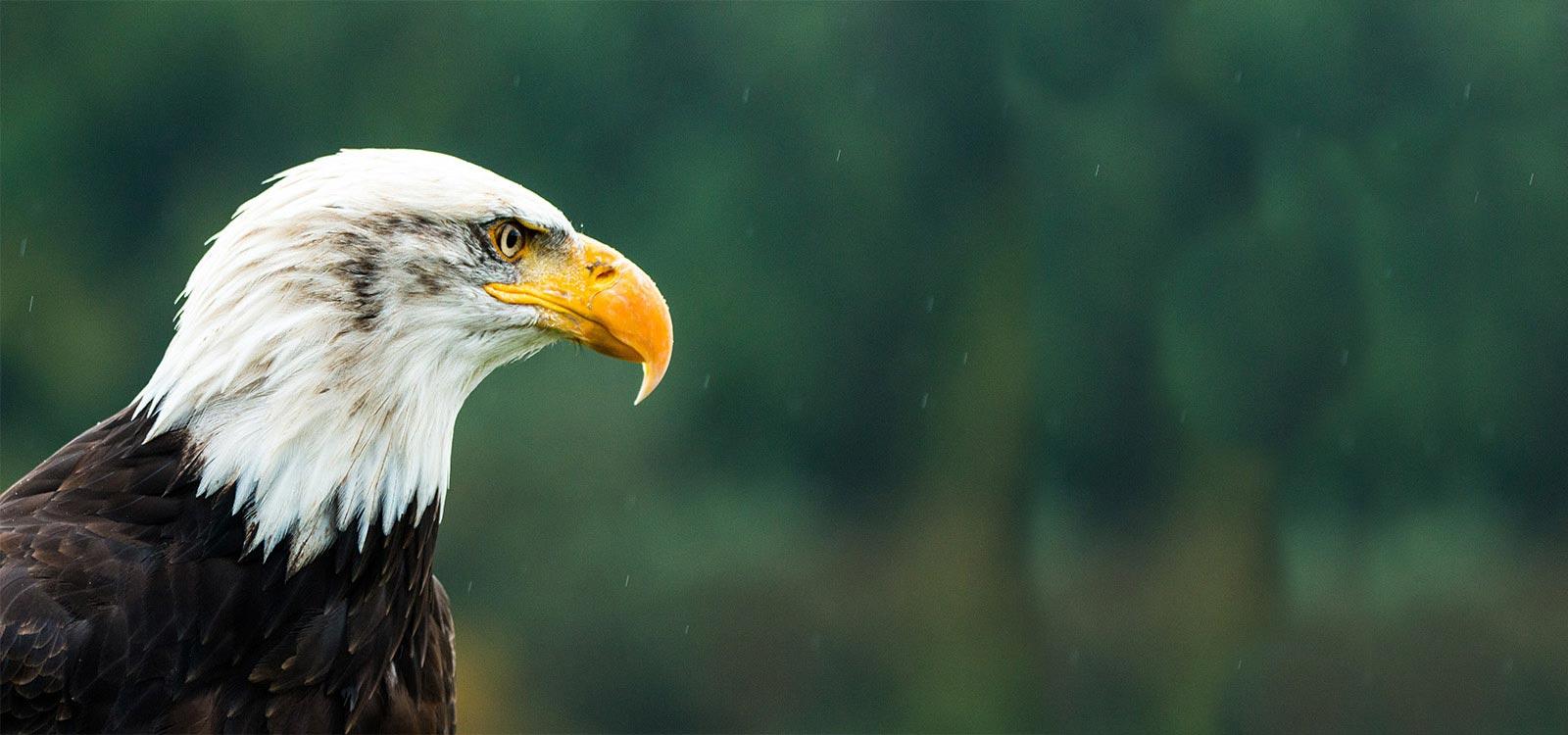 Bald Eagle - banner
