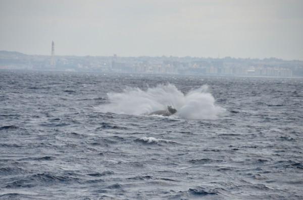 humpback-whale-breaching_9788