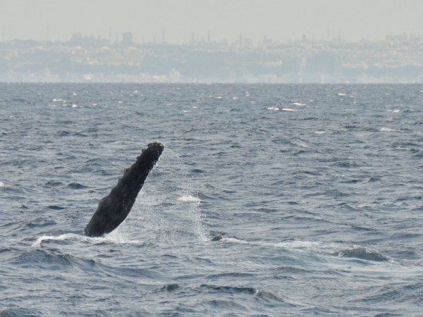humpback-whale-okinawa_9840