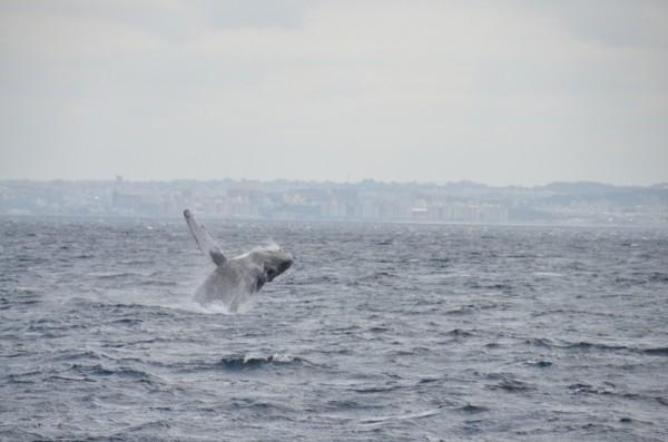 whale-breaching-japan_9785