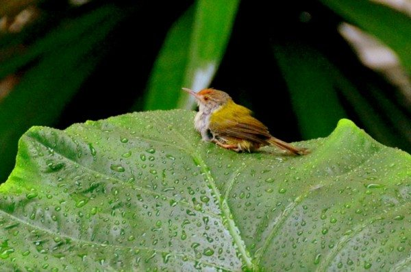 common-tailorbird-thailand-2