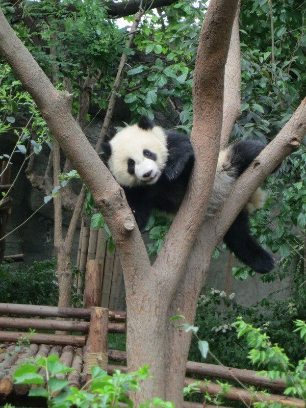 chengdu-baby-panda