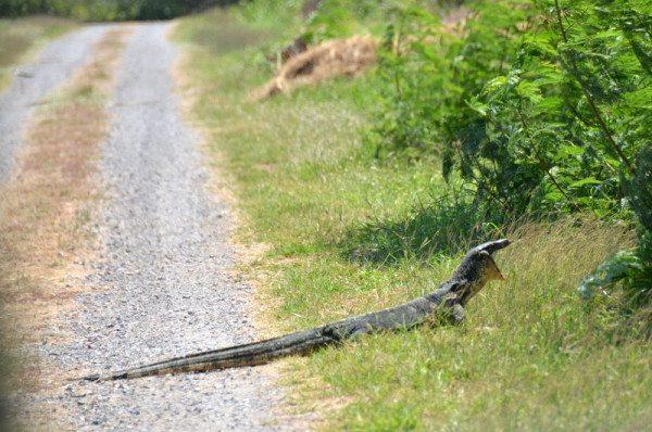 monitor-lizard-2