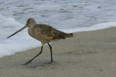 Godwit Sea Birds