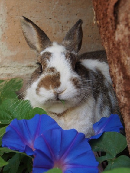 photo of a bunny eating morning glory