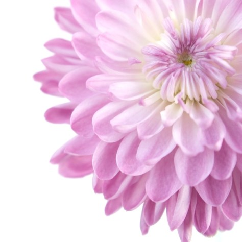 beautififul photo of a violet dalia flower