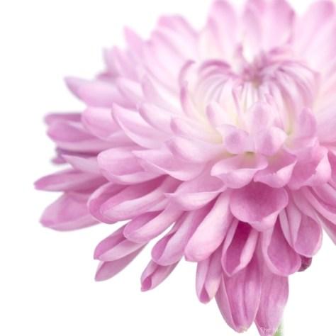 beautififul photo of a fuchsia dalia flower