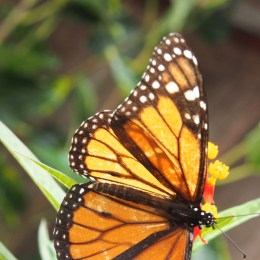 Monarchs on the Move