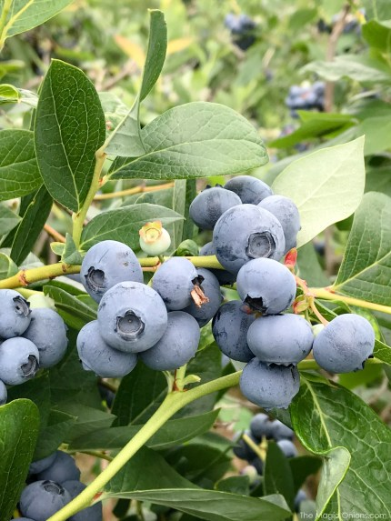 Picking Blueberries at Monadnock Berries, New Hampshire 5
