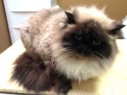 cat grooming - fur styles