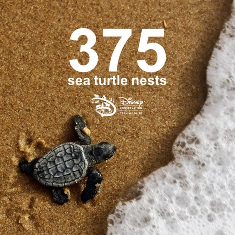 Graphic with the number of sea turtle nests at Vero Beach, FL