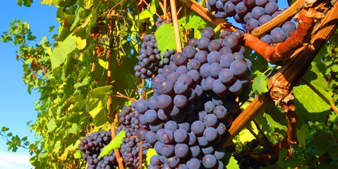 wine_ingred_main_grapes_on_vine