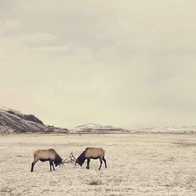LANDSCAPES 1st PLACE, SPARRING ELK IN WYOMING by Stephanie Baker