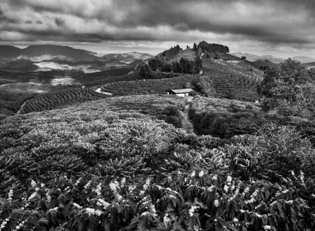 La stagione della fioritura del caffè nella fattoria Dutra. Comune di São João do Manhuaçú, regione di Mata, Stato di Minas Gerais, Brasile 2014. © Sebastião Salgado/Amazonas Images