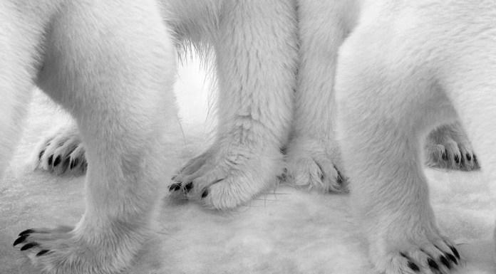 Polar pas de deux © Eilo Elvinger - Wildlife Photographer of the Year