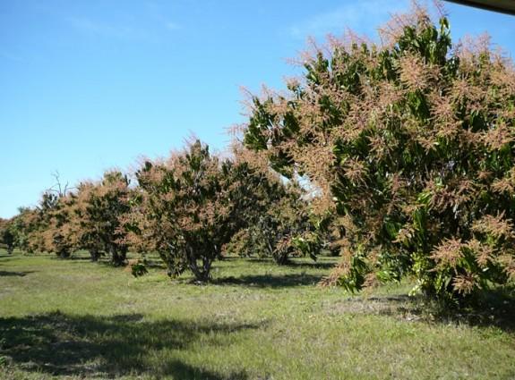 Our beautiful mango grove