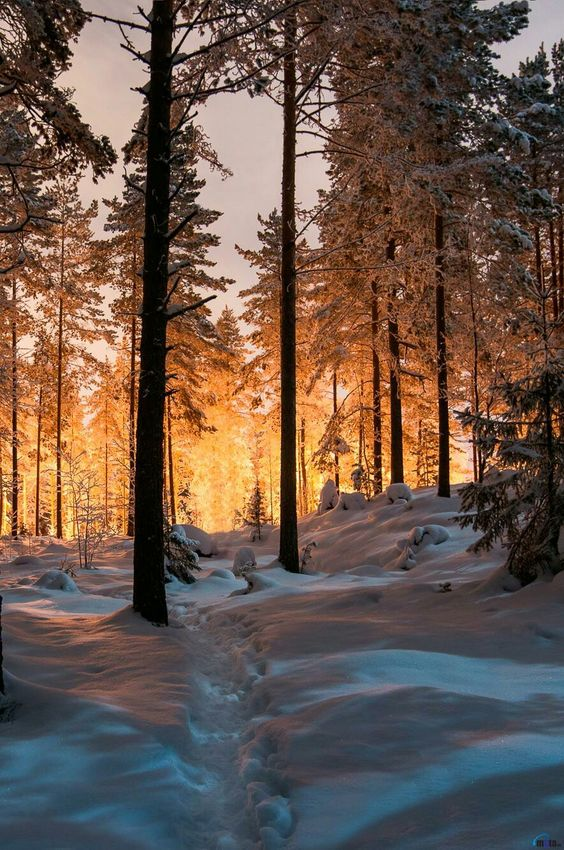 sunrise through snowy trees
